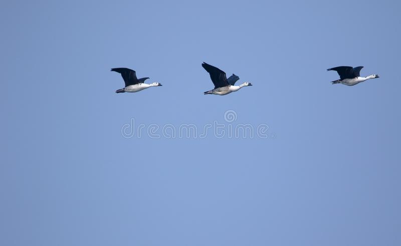 Comb duck. Three comb duck bird flying in the sky. beautiful and natural sky blue background natural beauty to the scene stock photography