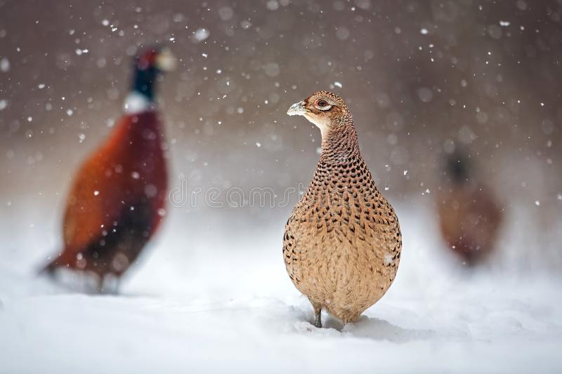 Three common pheasants, Phasianus colchicus. females and males in winter during snowfall. Flock of wild birds in frosting snow surrounded by falling snowflakes royalty free stock image