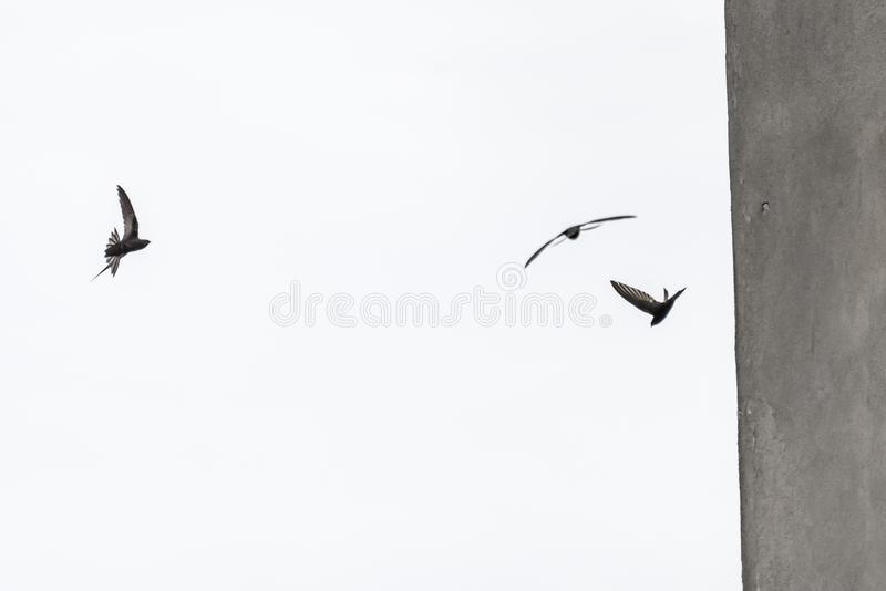 Common swifts apus apus. Three common swifts, extremely fast birds in flight near the wall of a house stock photography