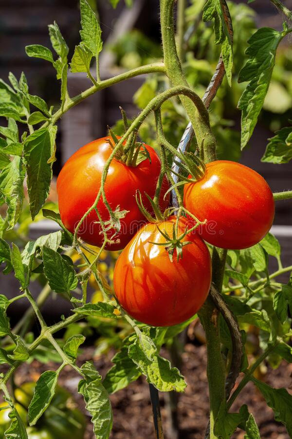 Three tomatoes in the late July sun stock photos