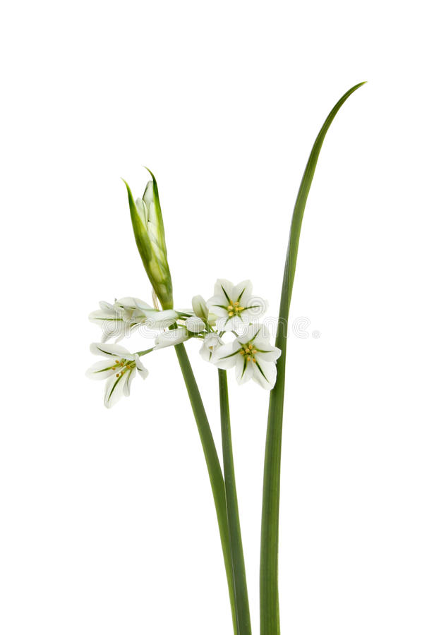 Three-cornered Leek - Allium triquetrum. Flowers bud and leaf isolated against white royalty free stock image
