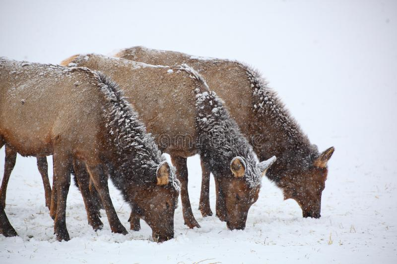 Three cow elk grazing in a winter snow storm stock photo