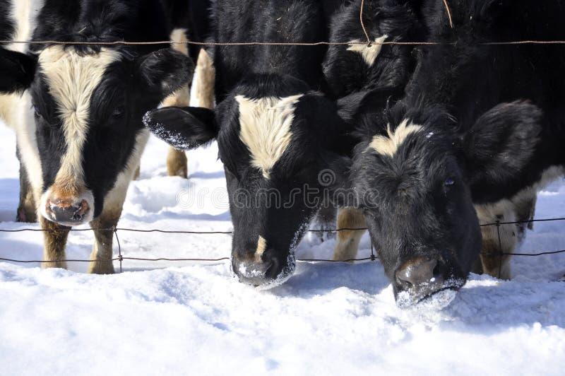 Download Three Cows stock image. Image of snow, bovine, farm, escape - 10091547