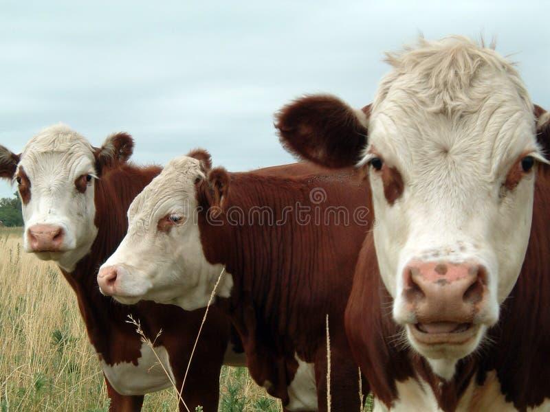 Three cows stock photo
