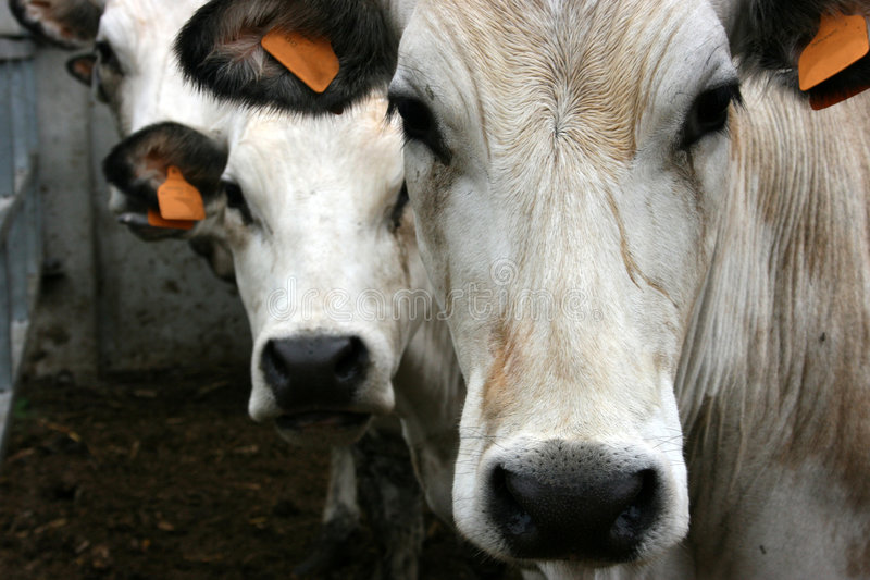 Three cows stock photography