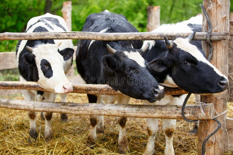 Three cows / agriculture stock photography