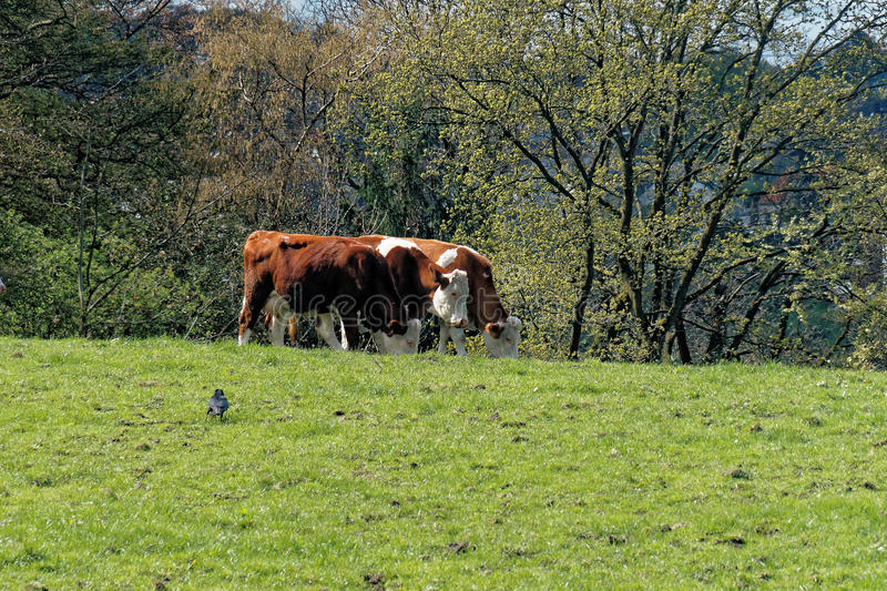 Three cows grazing on a meadow of an organic farm royalty free stock images