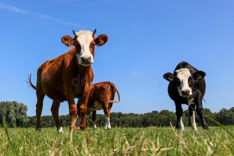 Three cows standing stock photography