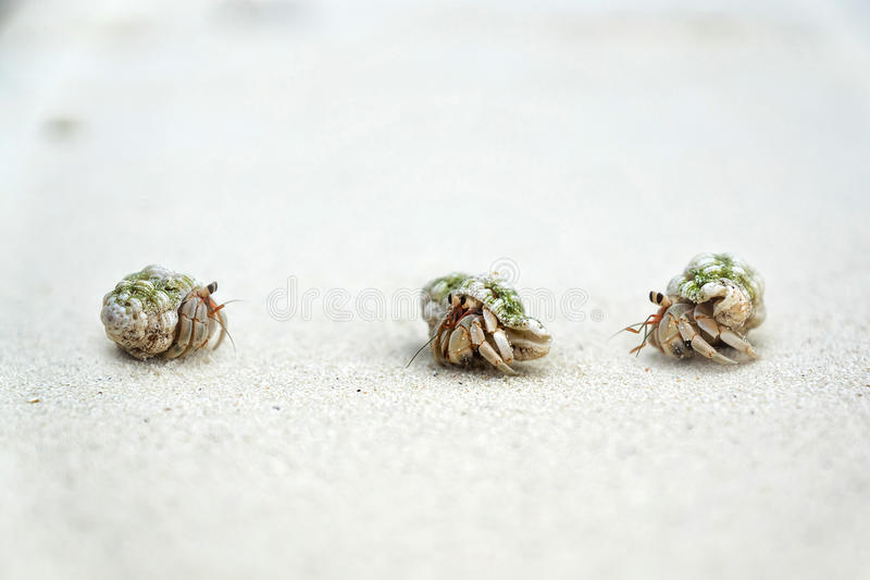 Three crabs. Three small crabs talking on the beach stock images