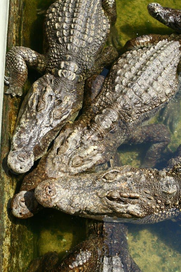 Three crocodiles stock photo