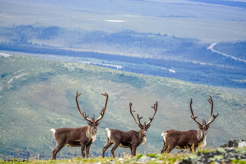 Three curious caribou royalty free stock image
