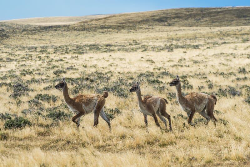 Three curious guanaco lamas in pampa stock image