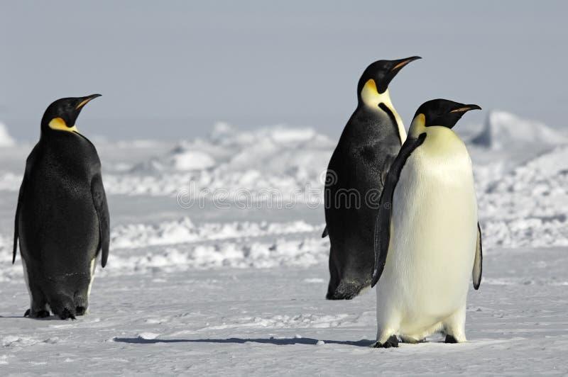 Three curious penguins stock photos