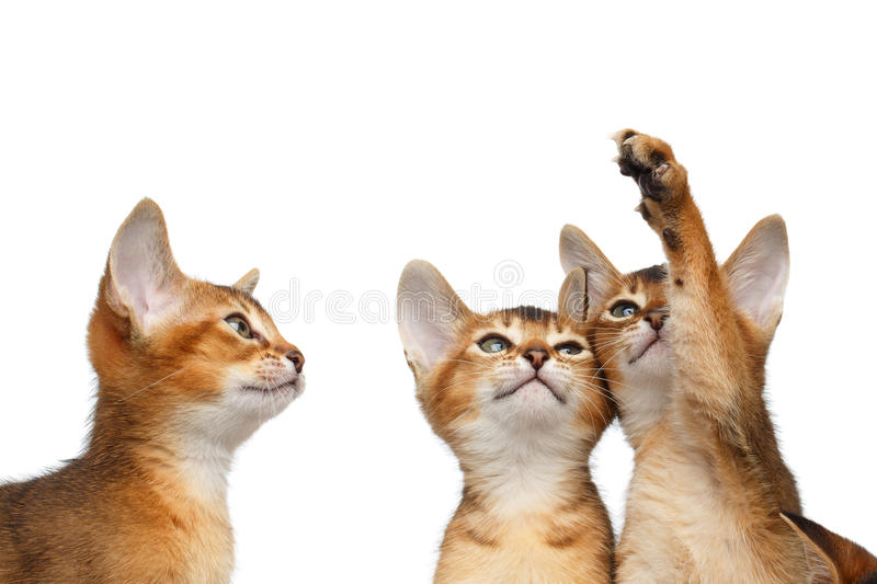 Three Cute Abyssinian Kitten Sitting on Isolated White Background royalty free stock image