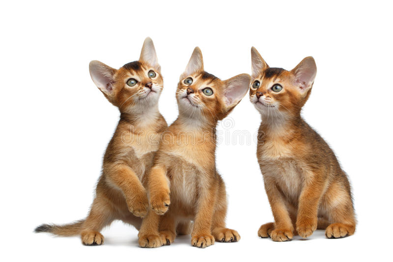 Three Cute Abyssinian Kitten Sitting on Isolated White Background royalty free stock photography