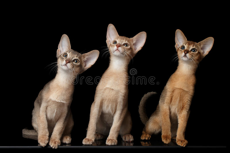 Three Cute Abyssinian Kittens Sitting isolated black royalty free stock photos