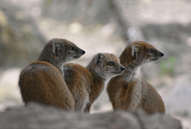 Mongoose family of three. Three cute alert African yellow mongooses sit together on rocks stock image