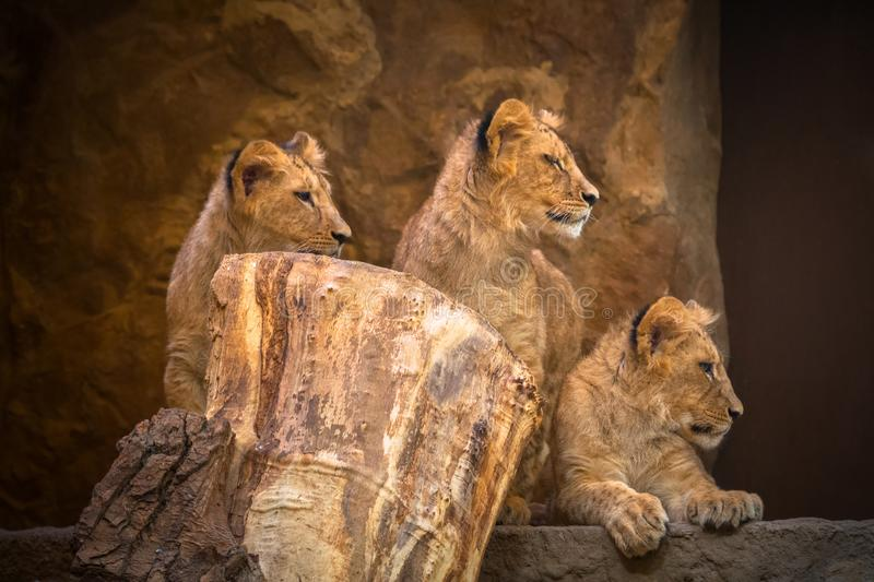 Cute baby lions royalty free stock photos