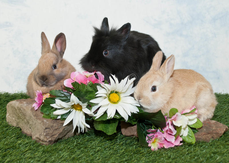 Three Baby Bunnies stock photography