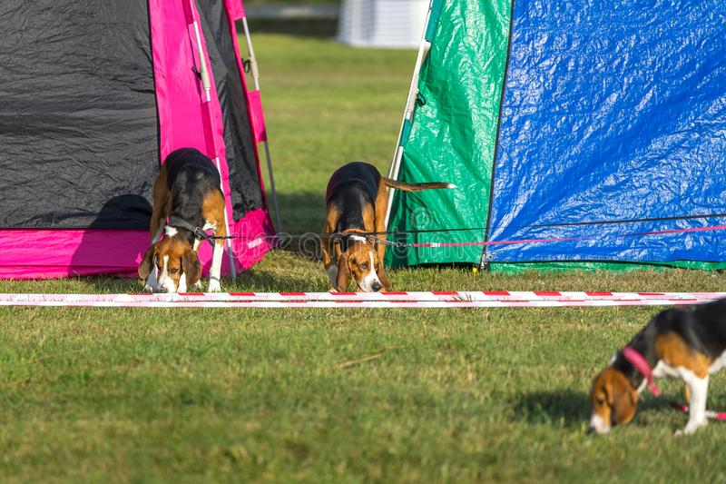 Three dogs on the grass. Three cute beagles at the colorful tents on a sunny summer evening royalty free stock photos