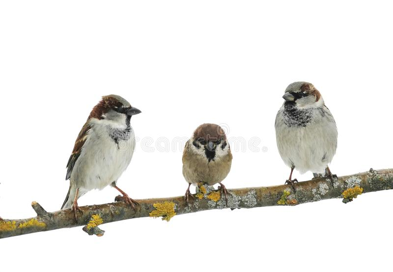 Three cute birds Sparrow on white isolated background on a tree. Branch stock photo