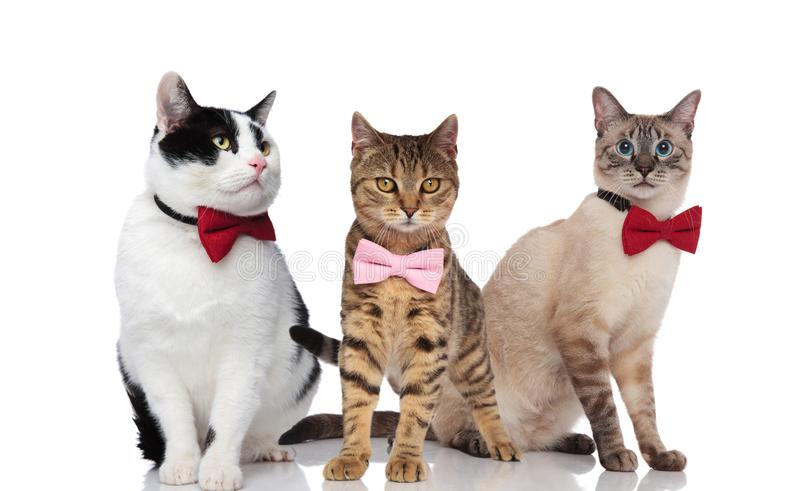 Three cute cats wearing elegant bowties on white background royalty free stock photo