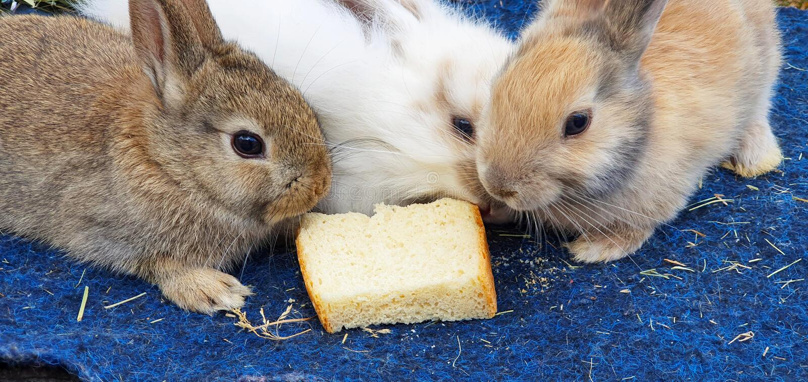 Three cute fluffy rabbits eat a slice of bread close-up royalty free stock images