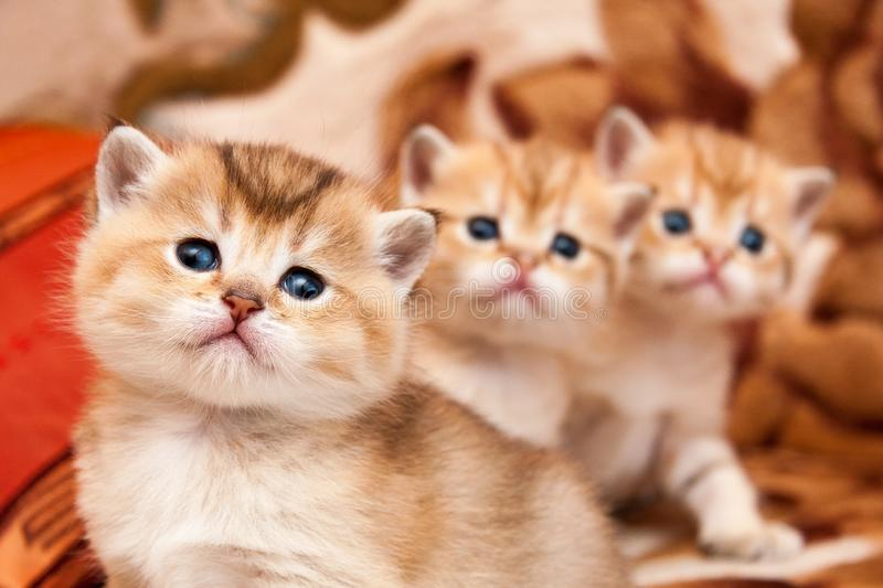 Three cute Golden British kittens sit one after another and look at the camera with interest royalty free stock images