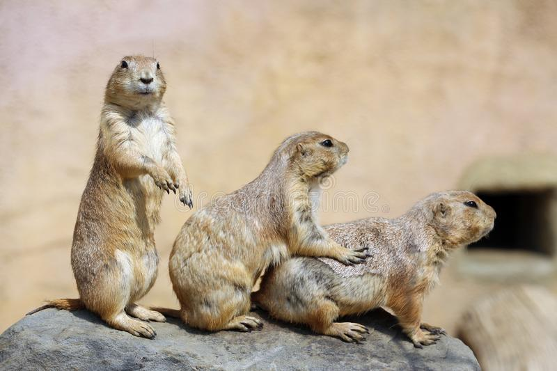 Group of three cute gophers. Three cute gophers under sunshine, picture taken in one of popular zoo in Seoul stock images