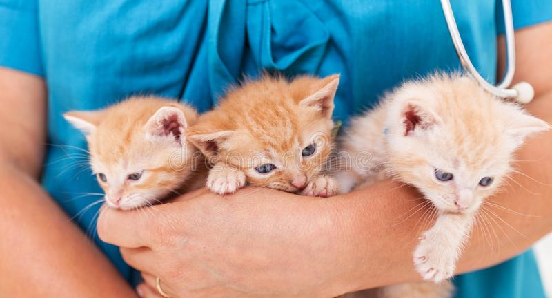 Three cute kitten lying in the veterinary healthcare professional arms - close up royalty free stock image