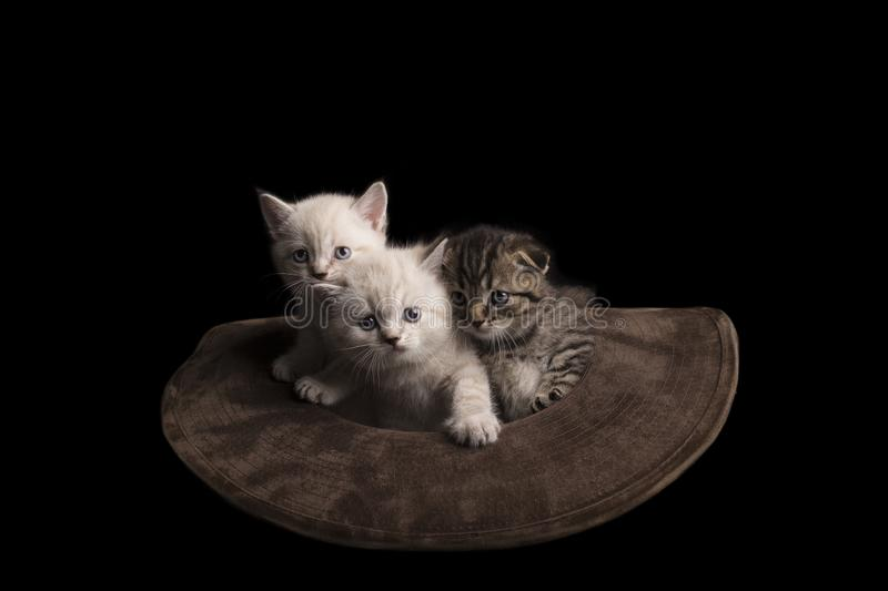Three cute kittens sitting inside a cowboy hat. on a black background. royalty free stock image