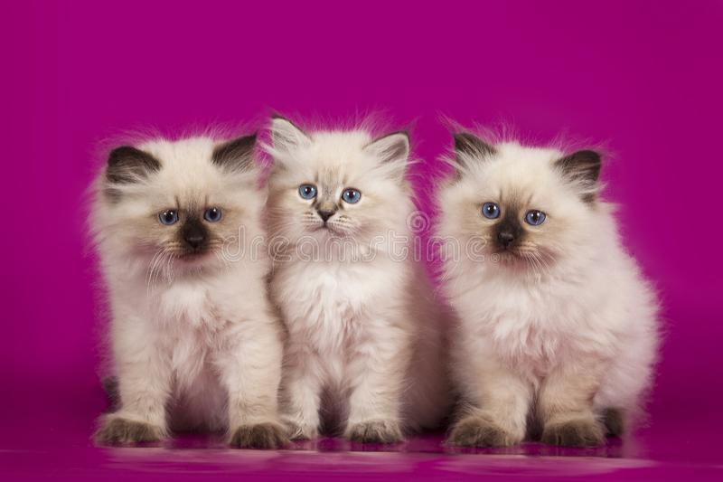 Three cute kittens sitting on a pink background stock photo