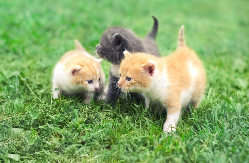 Three cute little kittens walking on a green grass. In the garden royalty free stock image