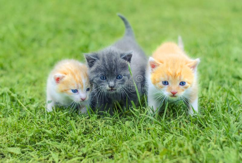 Three cute little kittens walking on a green grass royalty free stock photography