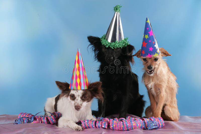 Three cute mixed breed dogs sitting with streamers. Three cute mixed breed dogs with funny hats sitting with streamers royalty free stock images