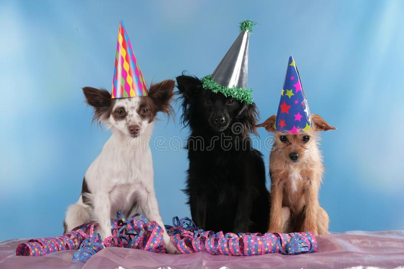 Three cute mixed breed dogs sitting with streamers. Three cute mixed breed dogs with funny hats sitting with streamers stock images