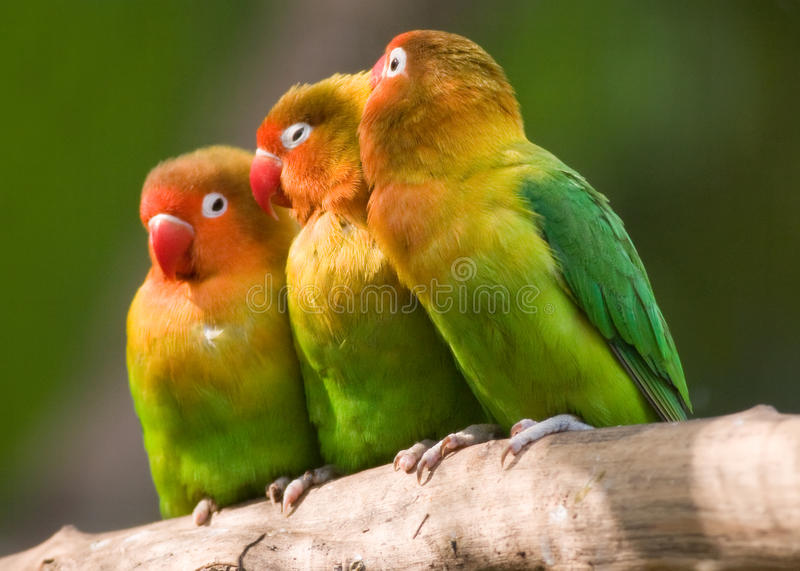 The Three Lovebirds. Fischers lovebird (Agapornis fischeri) is the colourful birds of the tropical countries