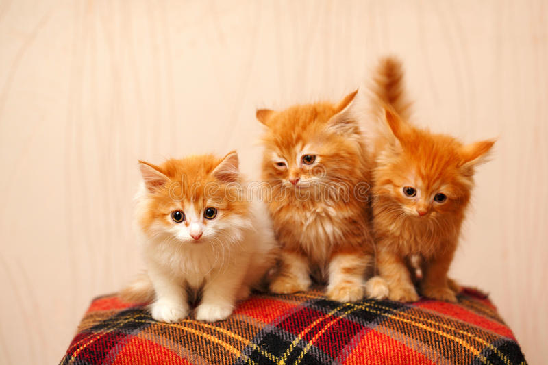 Three cute red kittens sits on plaid stock photos