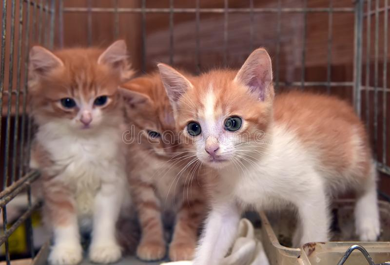 Three cute red kittens stock image