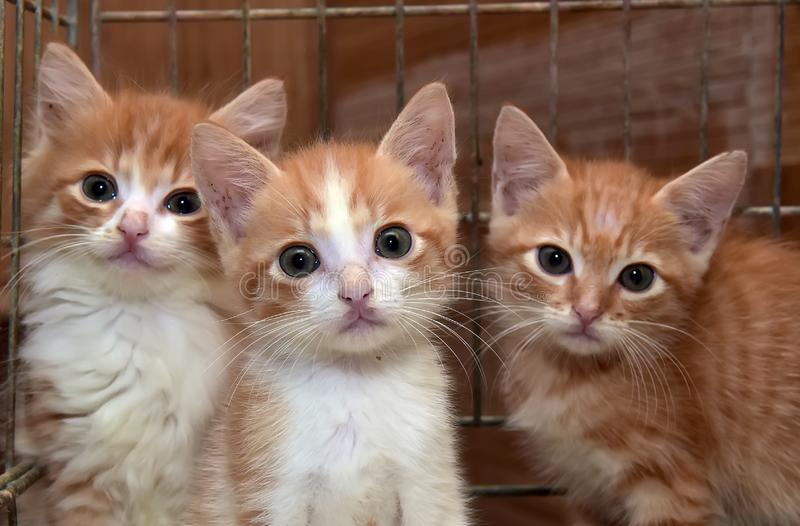 Three cute red kittens royalty free stock image