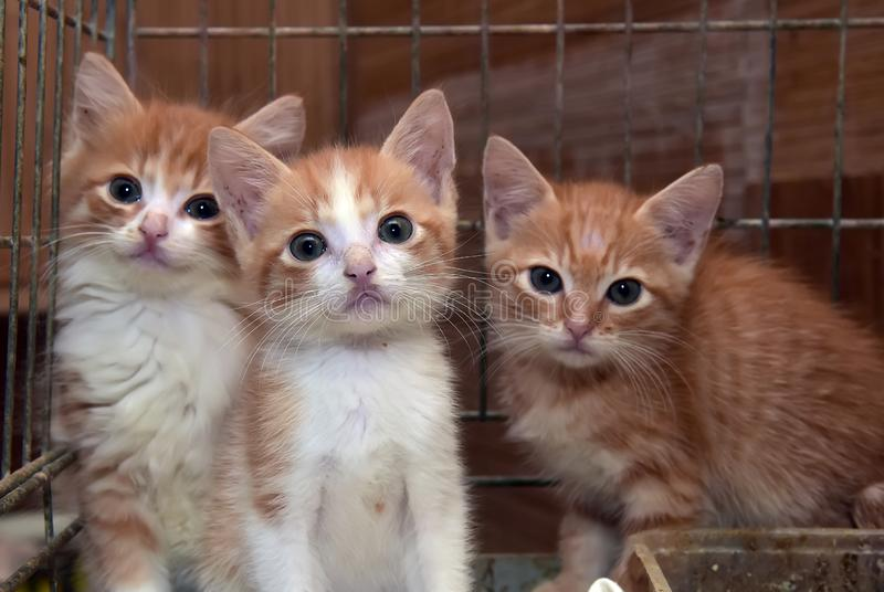 Three cute red kittens stock photography