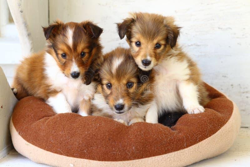 Three Cute Shetland Sheepdog puppies! stock photos