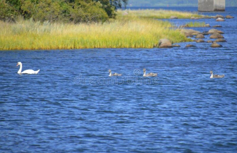 Three cygnets following parent swan stock photos