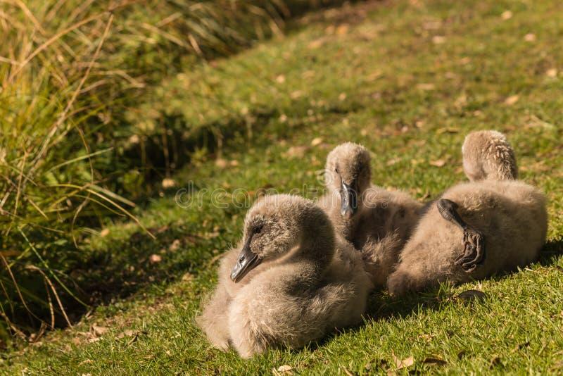 Three cygnets resting on grass stock photo
