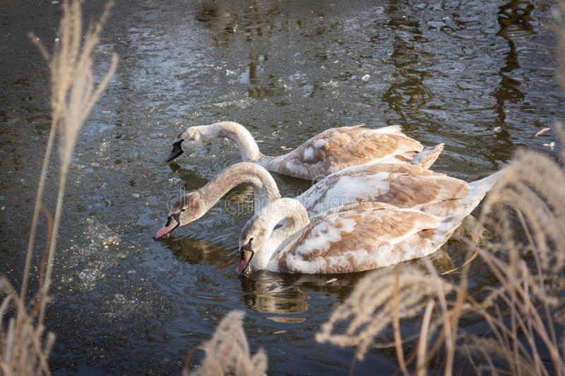 Three cygnets young swans feeding in a frozen pond royalty free stock images
