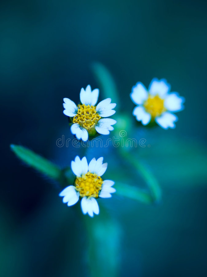 Three daisies stock photos