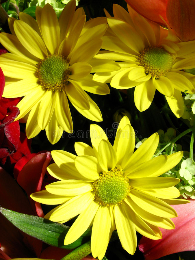 Three daisies royalty free stock photo
