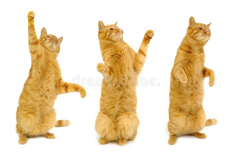 Three dancing cats royalty free stock photo