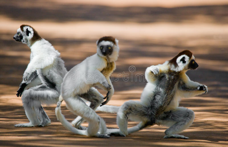 Three Dancing Sifakas on earth. Funny picture. Madagascar. stock image