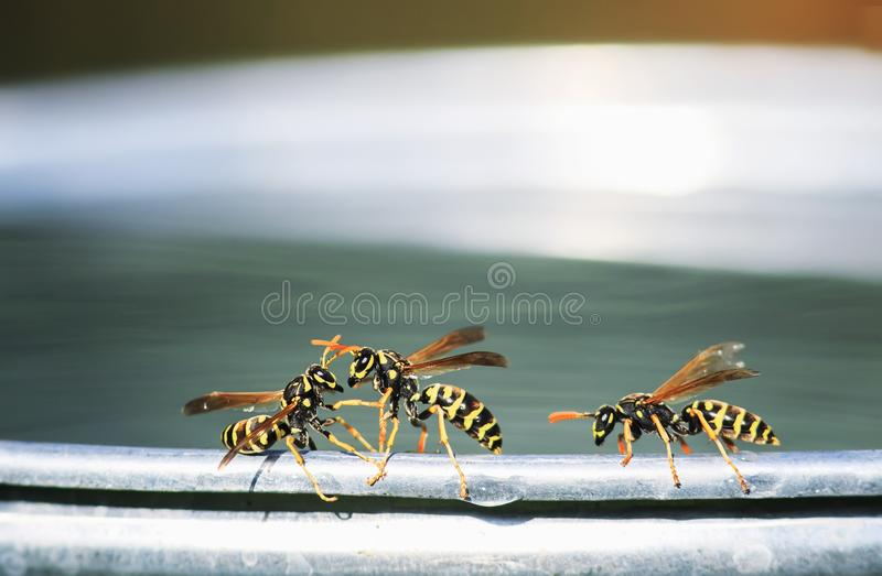 Dangerous insects wasp flew for water on a metal bucket in the garden and with fighting. Three dangerous insects wasp flew for water on a metal bucket in the stock photography